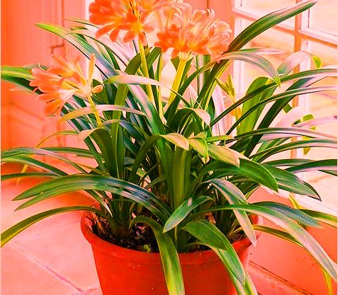 indoor-flowering-plants
