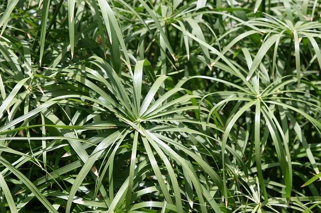 spider_plant_flower